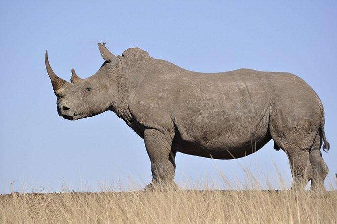 Nosorožci svádí nerovný boj o přežití