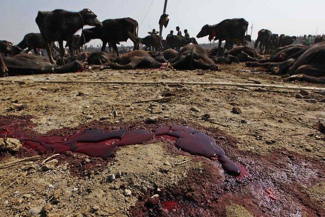 Největšímu obětnímu rituálu na světě se snaží zabránit ochránci zvířat.