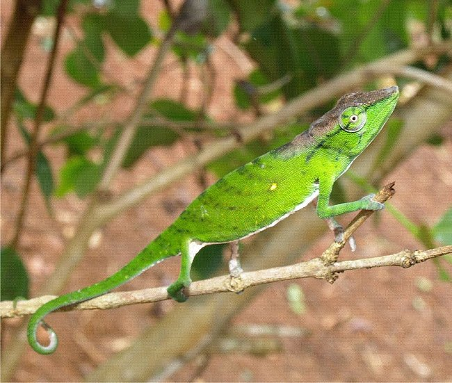 Chameleon (Calumma tarzan) byl nedávno objeven na Madagaskaru. A už se stihl zařadit mezi nejohroženější stovku.