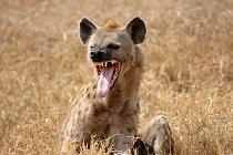Hyeny jsou proslulé i svým smíchem.
