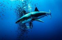 Ostrov Guadalupe, Mexiko: Žralok bílý