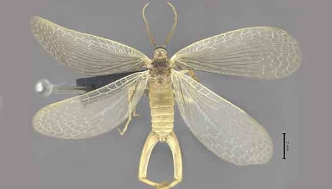 Nový druh hmyzu, který je stovky milionů let starý