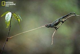 Chameleon útočí