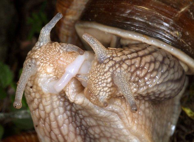 Hlemýždi jsou hermafroditi – každý jedinec je samcem i samičkou zároveň. Při páření proto oba partneři vychlipují složité pohlavní orgány, kterými předávají sperma tomu druhému.
