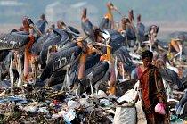 Ptáci musejí hledat stravu na skládce, stejně jako nejchudší lidé z města Guwahatina severovýchodě Indie.