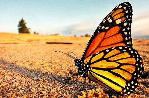Přestože žije jen pár měsíců, vydává se monarcha stěhovavý na dalekou cestu do Mexika, kde přežívá zimu.