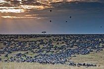 Stádo zvolní a nakonec zastaví až v rezervaci Masai Mara, kde instinktivně ví, že nebude o potravu ani vodu nouze.