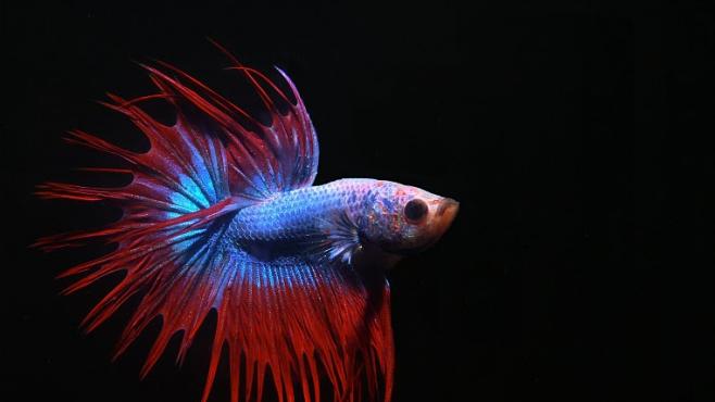 Ryby zápasnice mají násilnickou povahu. Byly vyšlechtěny k boji