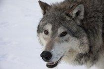 Vlk obecný žijící v jehličnatých lesích parku Yellowstone podstupuje každý den svoji bitvu o stravu. Mezi jeho kořisti patří dokonce i jelen wapiti.