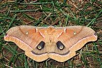 Můra (Antheraea polyphemus) má na svých křídlech kresbu připomínající oči velkého zvířete.
