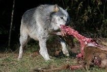 Vlci jsou predátoři. Protože loví ve skupině, mohou zabíjet zvířata větší, než jsou oni sami. Živí se hlavně jeleny, losy a severoamerickými soby karibu. Hladová smečka se odváží napadnout i osamocené