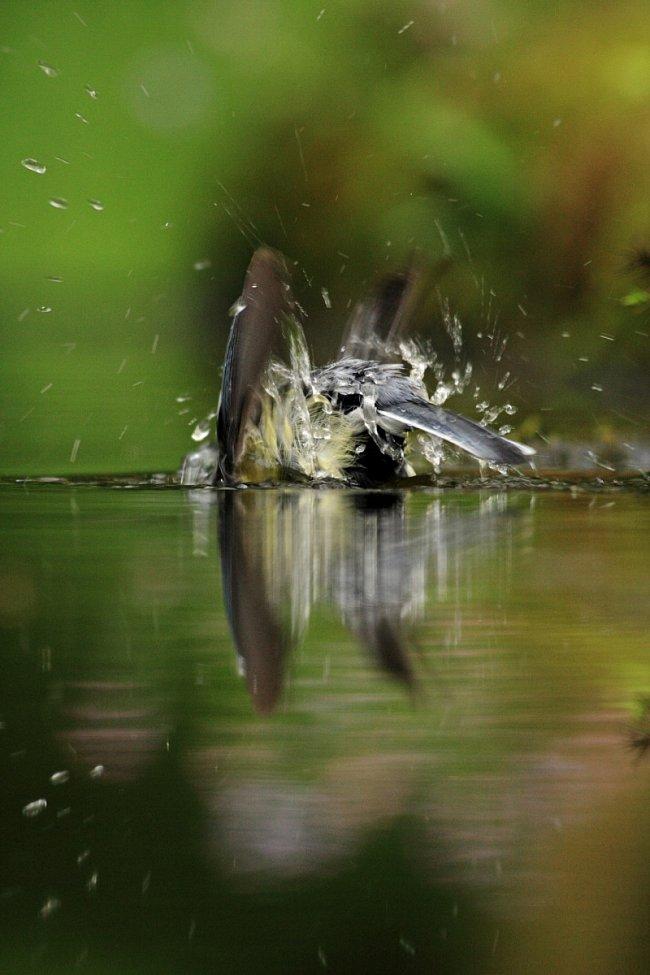 Kategorie Příroda v akci: 6.-10. místo – Martin Lazarovič – Koupající se sýkora koňadra