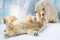 Couple of young polar bears taking care of each other