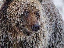 Grizzly pokrytý ledovou krustou se ve snaze nabrat tuk před zimním spánkem nacpal lososy.