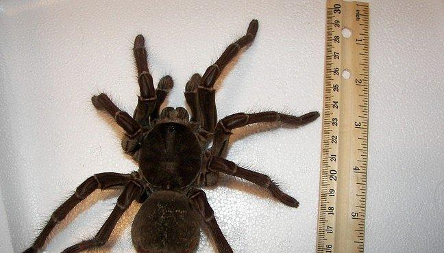 VIDEO: Největší pavouk na světě umí hravě sežrat myš nebo ptáka