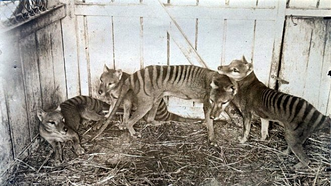 Australského tasmánského vakovlka vyhubil člověk a nikdo jiný. Potvrdil to výzkum