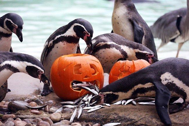 Ve skupině už byli tučňáci mnohem odvážnější a lačně se pustili do rybiček, které se skrývaly hned ve dvou dýních.