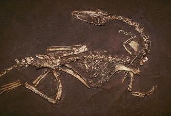 Roztomile působící masožravec Coelophysis bauri je starý asi 200milionů let a je jedním zprvních dinosaurů, kteří žili na jihozápadě dnešních Spojených států.