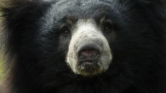 Ze všech medvědů je tento druh pro člověka nejnebezpečnější.