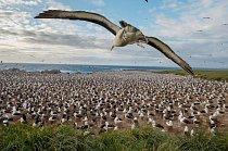 Steeple Jason, jeden z odlehlejších ostrovů, je domovem největší kolonie albatrosů černobrvých. Kdysi poskytoval pastvu stovkám ovcí a krav, dnes je to přírodní rezervace. Na Falklandách hnízdí kolem 70 % světové populace albatrosů černobrvých.