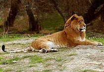 Liger je největší šelmou na planetě.