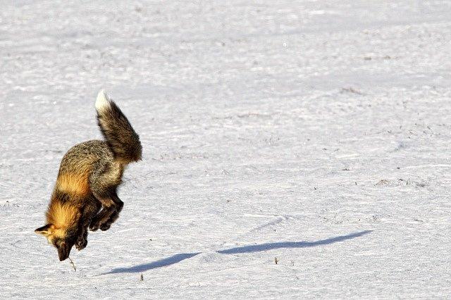 Chytrá liška využívá k lovu magnetické pole Země.