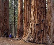 Sequoia National Park v Kalifornii.