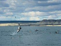 Delfíni komunikují prostřednictvím zvuků ipohybů těla. Plískavice tmavá vyskakující nad hladinu upobřeží Patagonie možná sděluje ostatním delfínům: Je tady spousta jídla. Připlavte sem adejte si taky.
