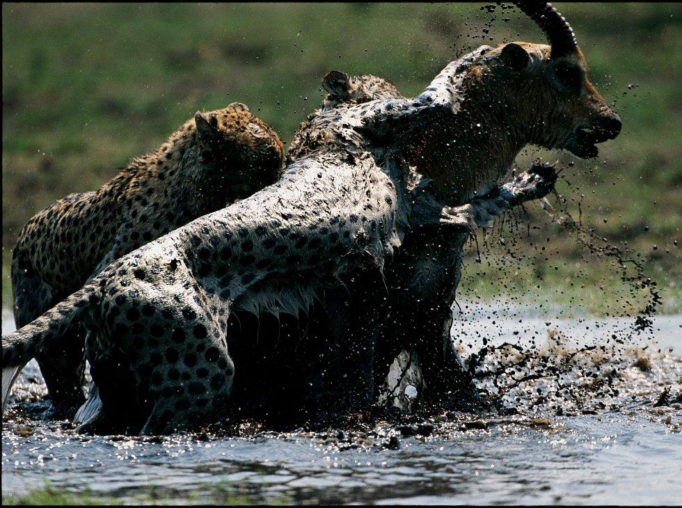 Gepardi útočí ořez