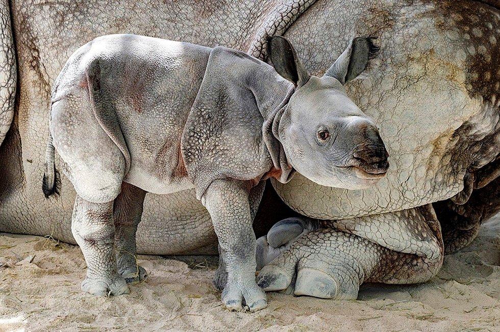 Poprvé v historii se narodil nosorožec indický díky umělému oplodnění. Mládě i samice Akuti ze zoologické v Miami jsou v pořádku a vědcům tak svitla naděje, že by se zvířata, která již patří mezi ohrožená, takto dala zachránit.