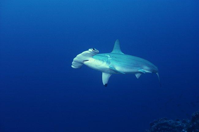 Žralok kladivoun bronzový u vod Kokosového ostrova