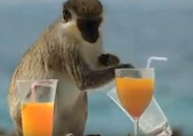 Opice ochutnává alkoholový koktejl.