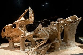 Protoceratops andrewsi, primitivní příbuzný rohatého dinosaura triceratopse, je vystaven vbarcelonském muzeu vědy CosmoCaixa jako součást expozice dinosaurů zmongolské pouště Gobi. Protoceratops byl velký asi jako ovce.