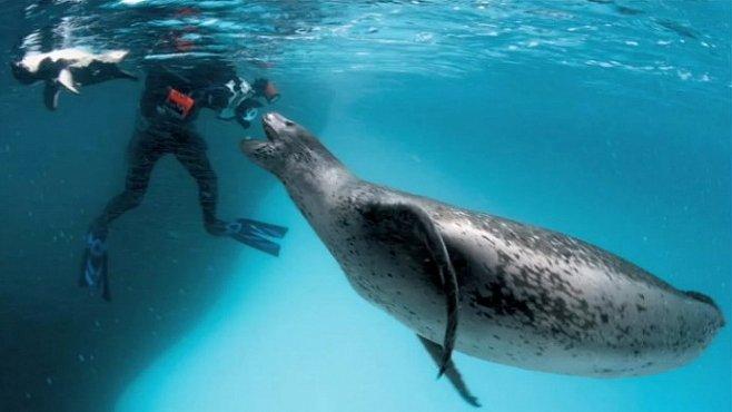 NEJ videa National Geographic: Pohled do tlamy největšímu predátorovi Antarktidy - mořskému levhartovi