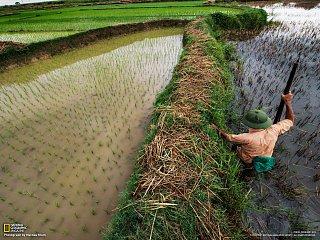 Hledání jedovatých hadů v rýžovém poli