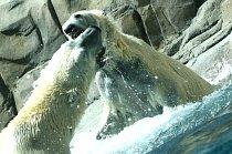 Polar Bears Fighting