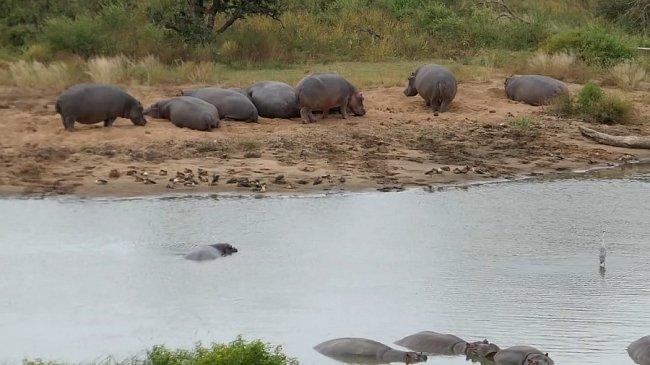 Hroši střeží své vody.
