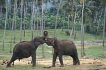 Sloni v Kegalle na Srí Lance (v útulku Pinnewala Elephant Orphanage).