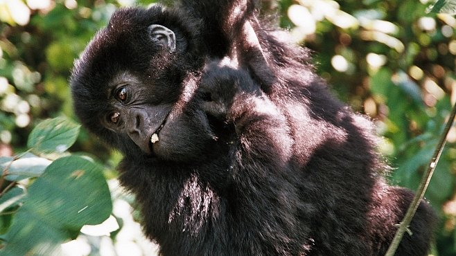ako veľký je Gorila penis