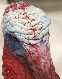 Krocani vypadají zblízka jako bytosti z jiného světa. Zabarvení neopeřených částí těla souvisí mimo jiné i s emocemi, které právě prožívají.