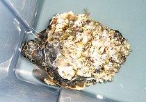 Nemocné želvy mají krunýře pokryté mořskou florou