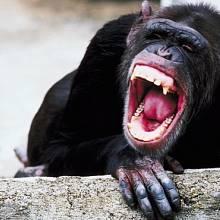 Nejhorší lidožrouti: Frodo - šimpanz, kterému zachutnalo lidské maso