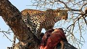Nejhorší lidožrouti v dějinách: Levhartům v Asii zachutnala lidská krev