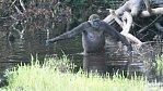 Gorily opět překvapily: naučily se stavět mosty