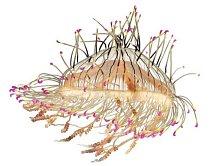 Medúzky Olindias formosus ztělesňují zvláštní paradox: jsou křehké a současně hrozivé. Sedí na dně moře, mávají barevnými chapadly, lákají ryby, zasáhnou je žahavými vlákny a pozřou je.