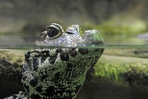 Kajmani patří mezi aligátorovité, ale velikosti aligátorů zdaleka nedorůstají.