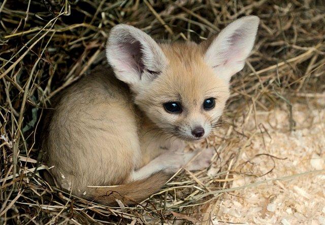 Samice nejčastěji porodí 2 až 4 mláďata.  vrhá 2-4 altriciální, slepá mláďata.
