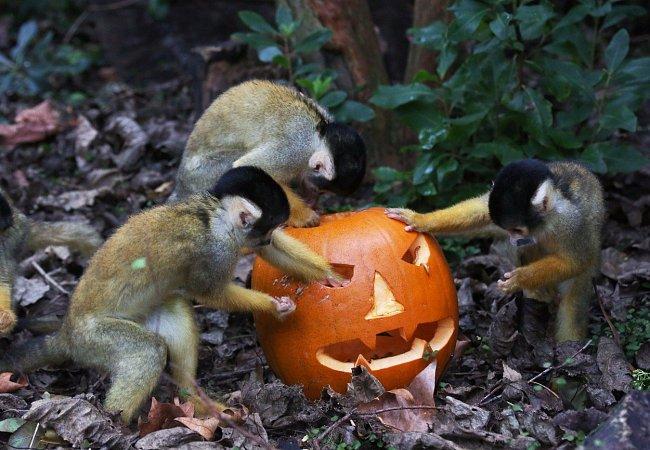Malé opičky z čeledi malpovitých si s dýní dlouho jen hrály a daly si dostatek času na to ji pořádně prozkoumat.
