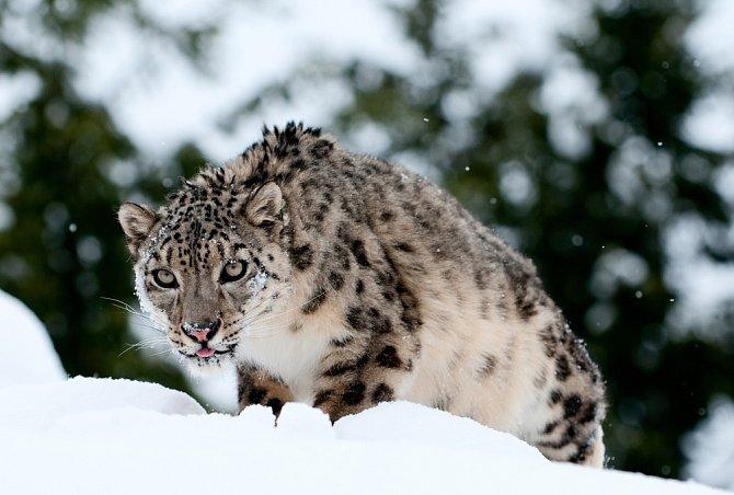 Irbis horský je kvůli lokálnímu lovu pro svou kožešinu na seznamu ohrožených druhů. Jeho kosti se podobně jako u jiných kočkovitých šelem využívají v čínské medicíně.