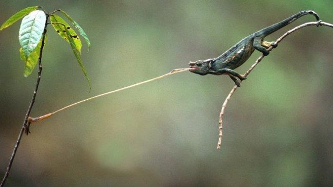 Jazyk chameleóna má větší zrychlení než stíhačka. Jak to jen dělá?